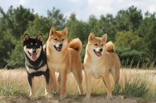 Японские собаки акито-ину: история породы, описание внешности и харктера, содержание и цена акита-ино