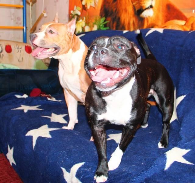 Американский стаффордширский терьер: фото собак, история появления, характеристика породы, правила содержания и отзывы владельцев