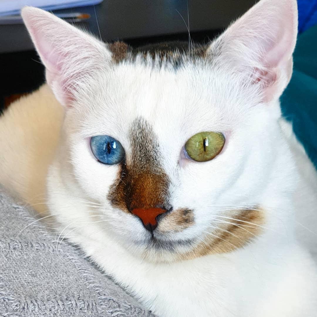Гетерохромия или почему у кошек разные глаза