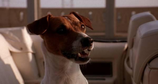 Как называется породы собаки майло из фильма маска и ее описание. собака из маски собака которая играла в маске - новая медицина