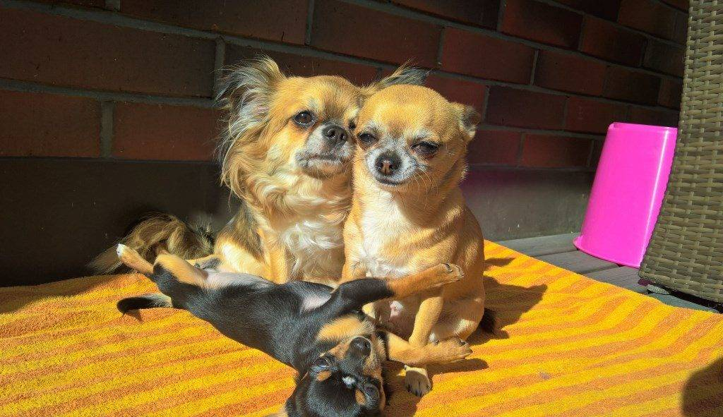 Чихуахуа: чем кормить кормящую собаку, много ли щенков рожает, сколько дней длится течка, когда проводить вязку, как правильно это делать, также беременность и роды