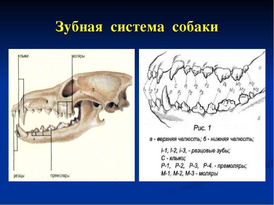 Анатомия зубов, вид и строение каждого зуба