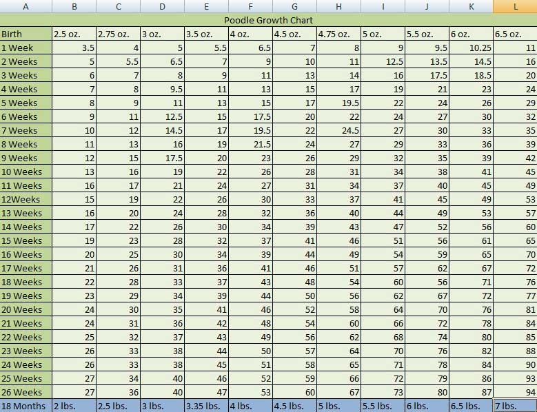 Вес и размер чихуахуа: таблица по месяцам, до какого возраста растут щенки этой породы и что делать, если малыш отстает от нормы