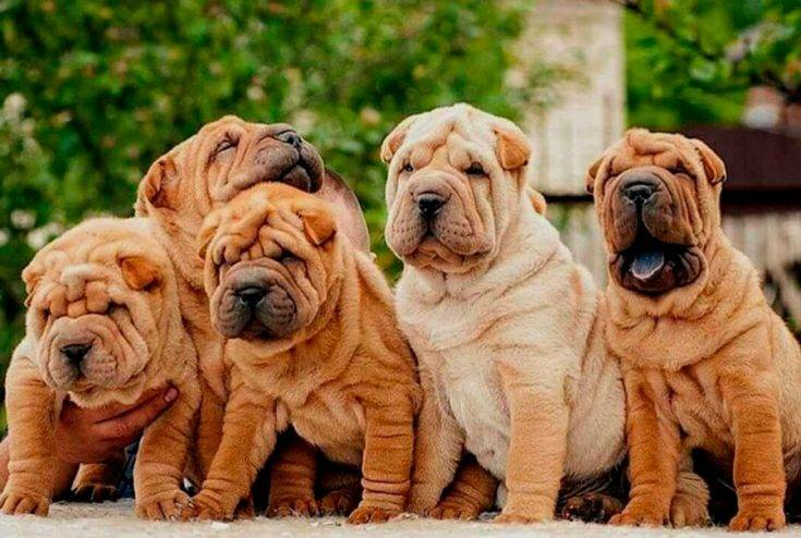 Собака породы шарпей: характеристика, описание внешнего вида и характера собаки, отзывы владельцев шарпеев