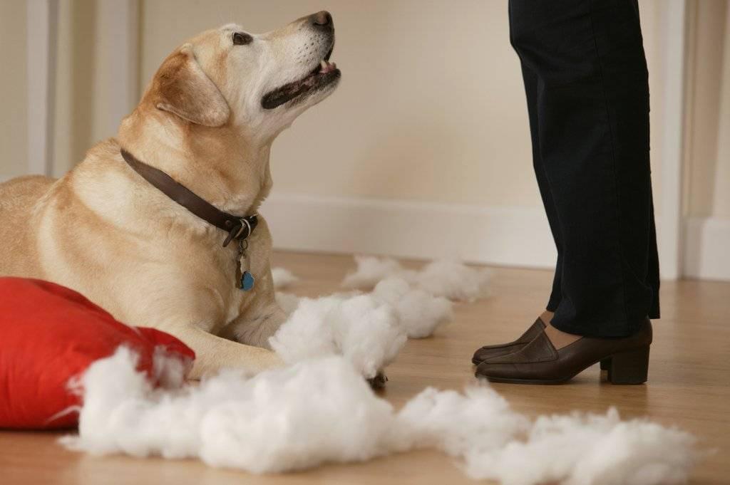 Как отучить собаку грызть вещи, кусаться, прыгать на хозяина, копать, попрошайничать, царапать дверь   сайт о маленьких собачках и не только