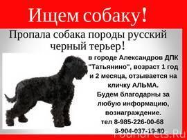 Русский черный терьер (фото): ум, решительность и обаяние
