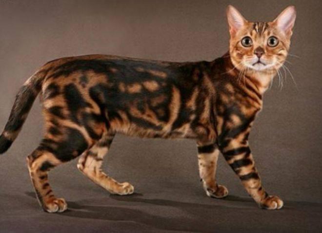 Породистые кошки пятнистого окраса, похожие на леопарда