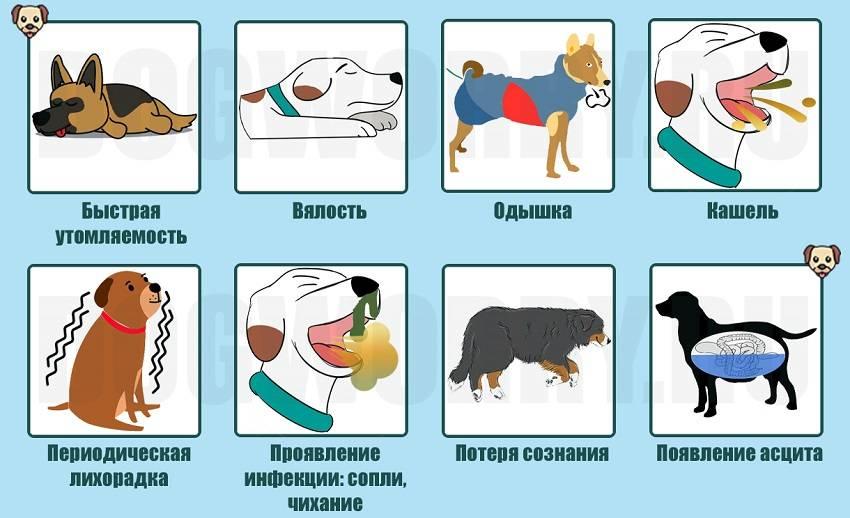 Кашель у собаки: причины, симптомы и лечение в домашних условиях   чем лечить