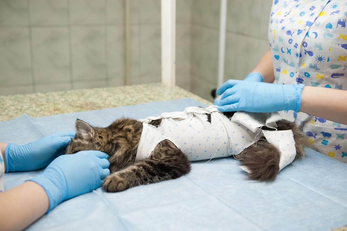 Кошка после операции стерилизации: поведение, как ухаживать?