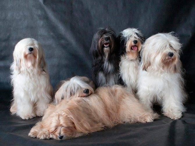 Американский голый терьер: фото и описание собаки, стоимость и уход