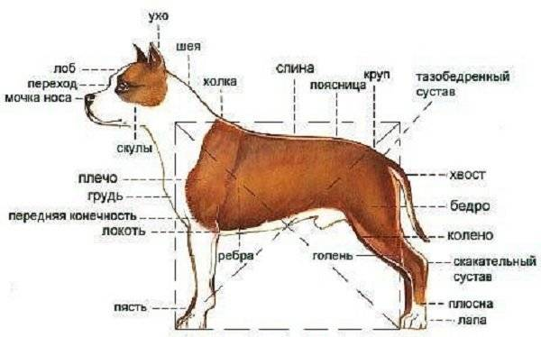 Как измерить рост собаки в холке: правила и методы замеров