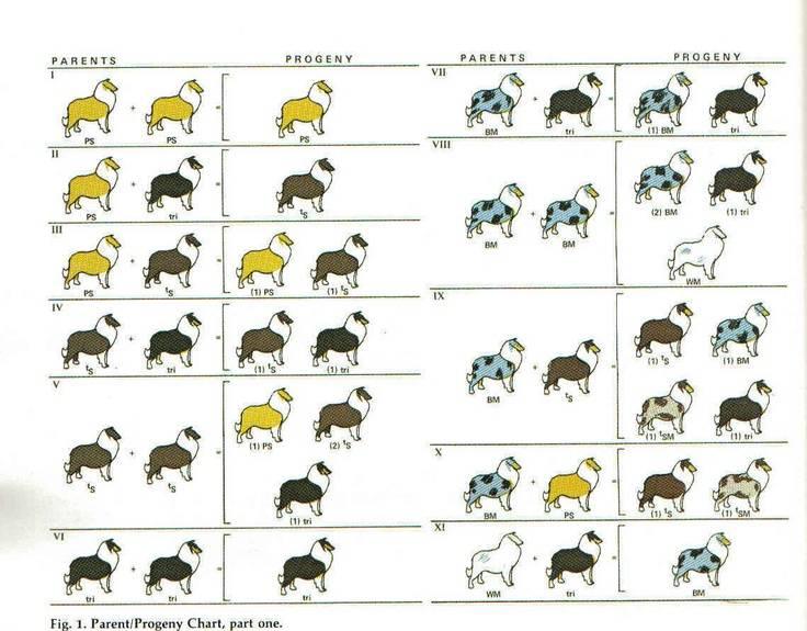 Самая умная порода собак в мире – бордер-колли