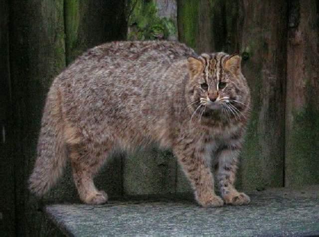 Сообщение о дальневосточном коте. амурский лесной кот: описание вида. дальневосточный лесной кот в неволе