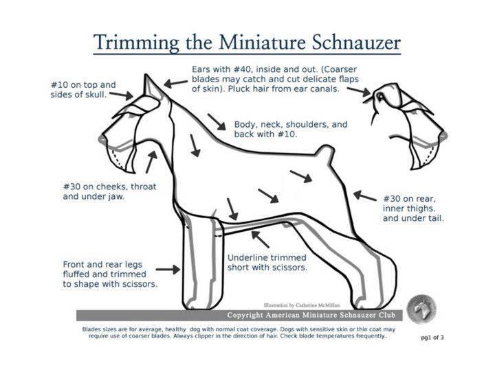 Основные этапы ухода за шерстью цвергов: стрижка морды, проведение тримминга