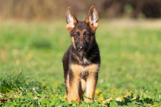 Немецкая овчарка: описание и характеристика породы, фото щенков