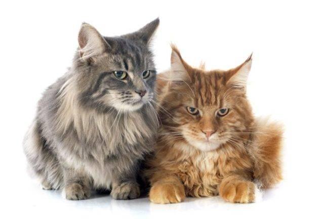 Мейн-кун: описание породы, характер кошки, достоинства и недостатки, отзывы, фото, видео, происхождение и характеристика мейнов, питание и уход