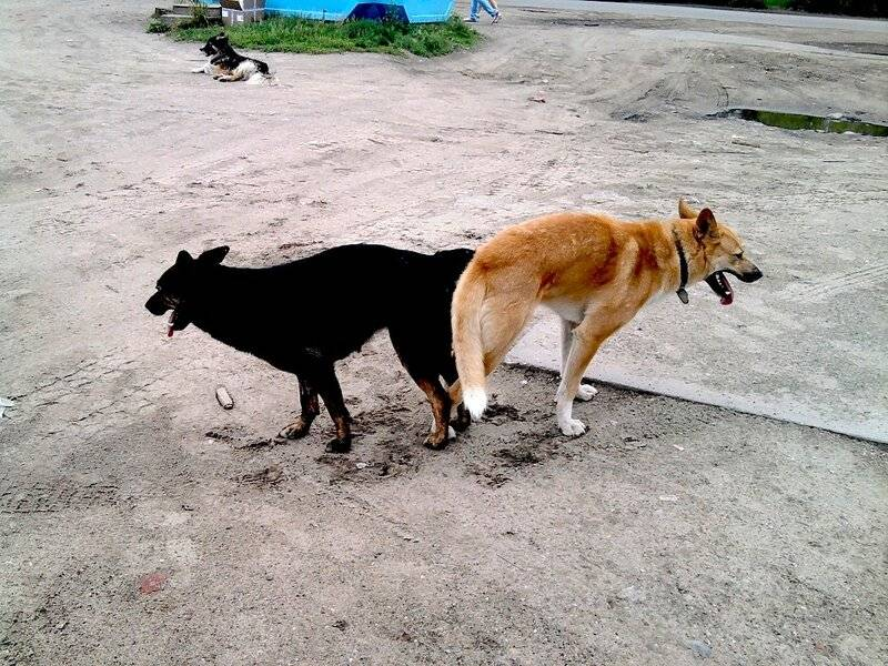 Почему слипаются собаки во время спаривания – физиология процесса, роль слипания в оплодотворении