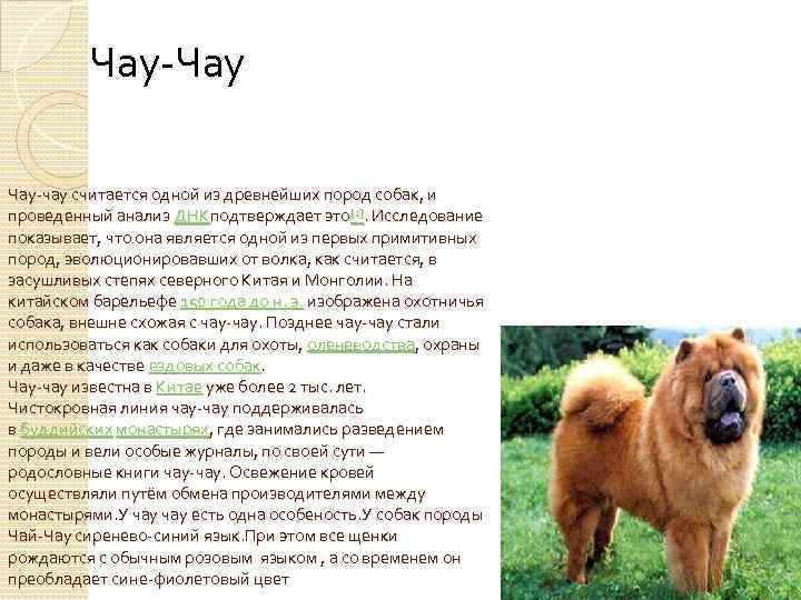 Собака чау-чау фото описание породы характер, купить щенка чау-чау цена, синий язык, отзывы владельцев