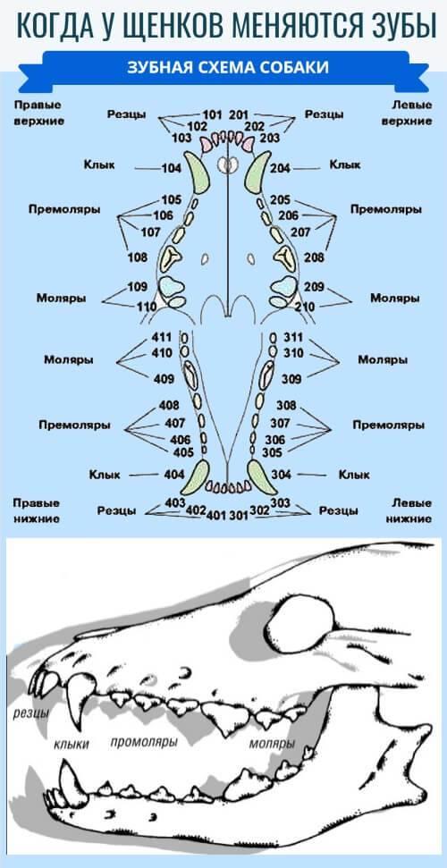 Зубы собаки анатомия | что говорят насекомые