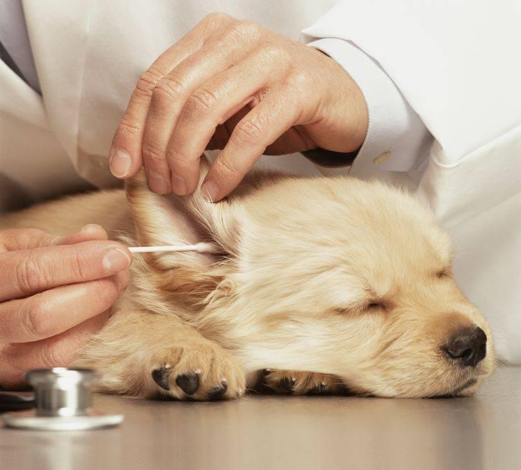 Как правильно чистить уши собаке в домашних условиях: техника проведения процедуры в разных ситуациях