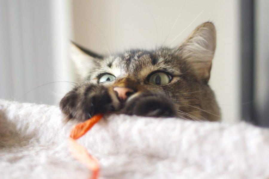 Почему котенок писает на кровать: как отучить малыша и взрослую кошку