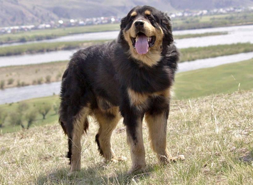 Монгольская овчарка: описание породы, характер и содержание