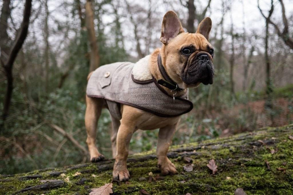 Уход за французским бульдогом, содержание собаки