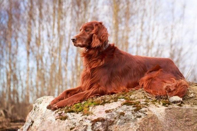 Ирландский красный сеттер - описание породы и характер собаки