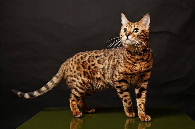 Как выбрать бенгальского котенка: основные правила