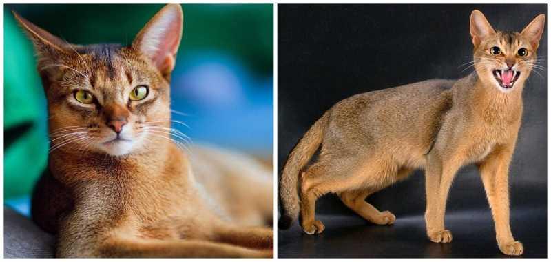 Длинношерстные кошки. породы кошек. по форме ушей.
