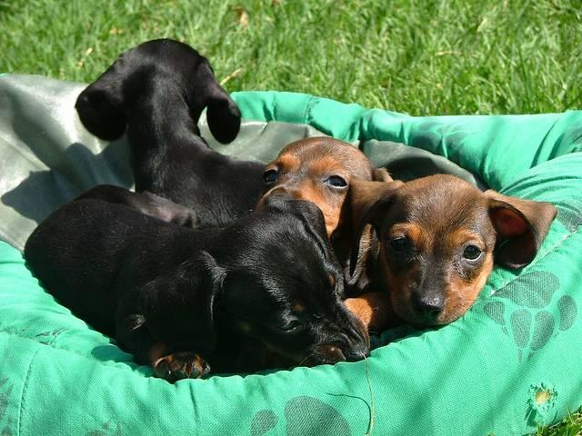 Правила содержания таксы дома: как ухаживать за щенками, воспитание собак