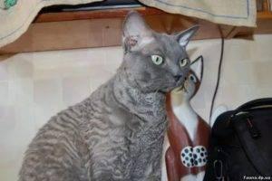 Гипоаллергенные породы кошек и собак для астматиков