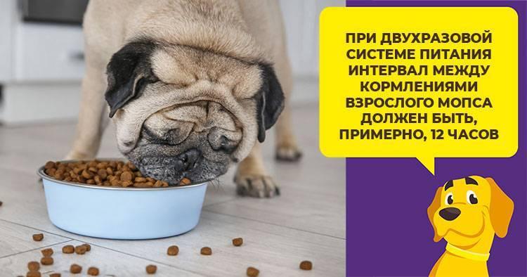 Сухой корм для мопса: можно ли давать щенкам и какой по отзывам лучше подходит для собак? как перевести на него и что делать, если перестал есть или подавился?
