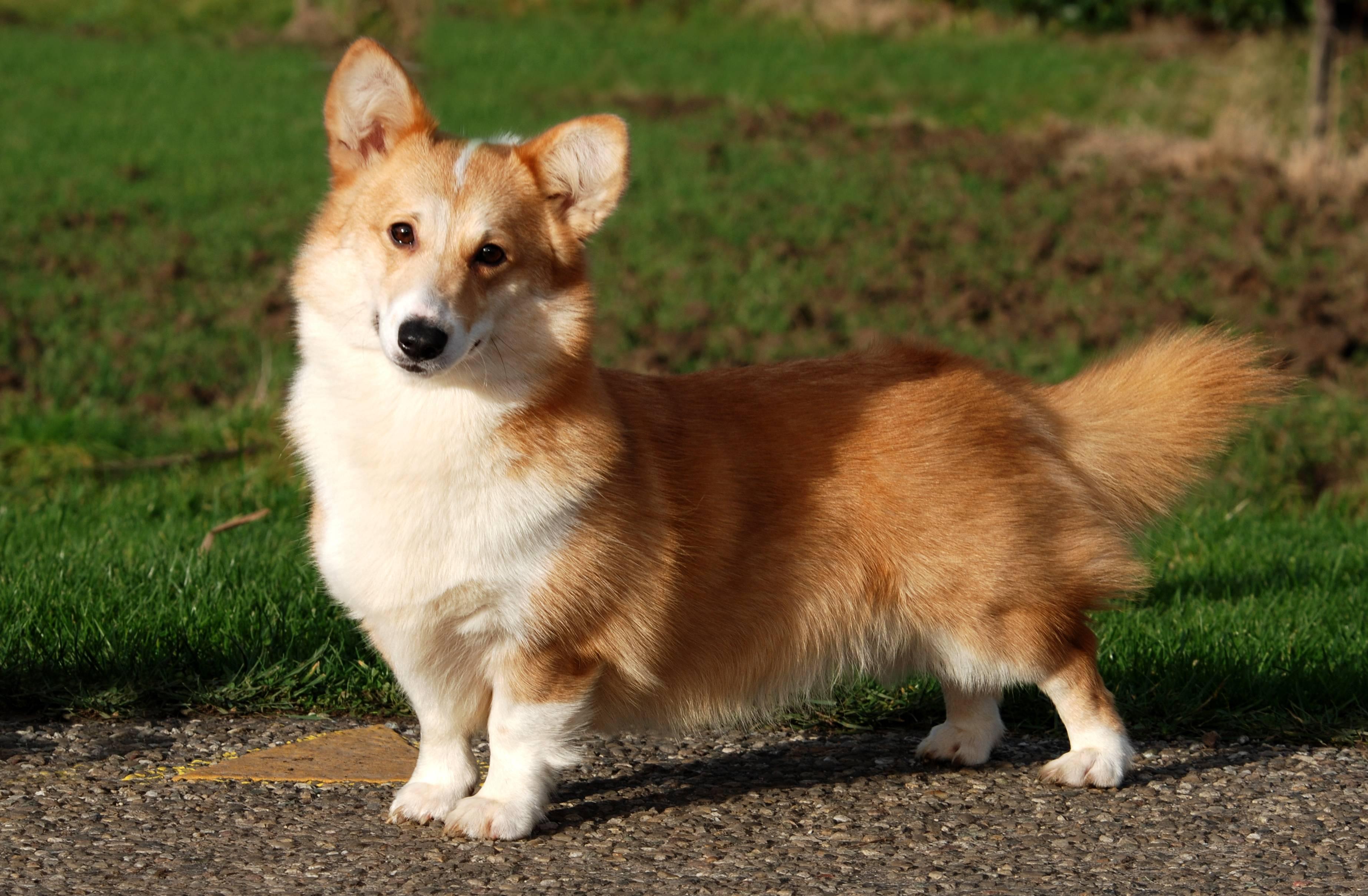 Собаки, похожие на таксу: какие существуют породы, описание их внешности, особенности характера и где их чаще всего используют