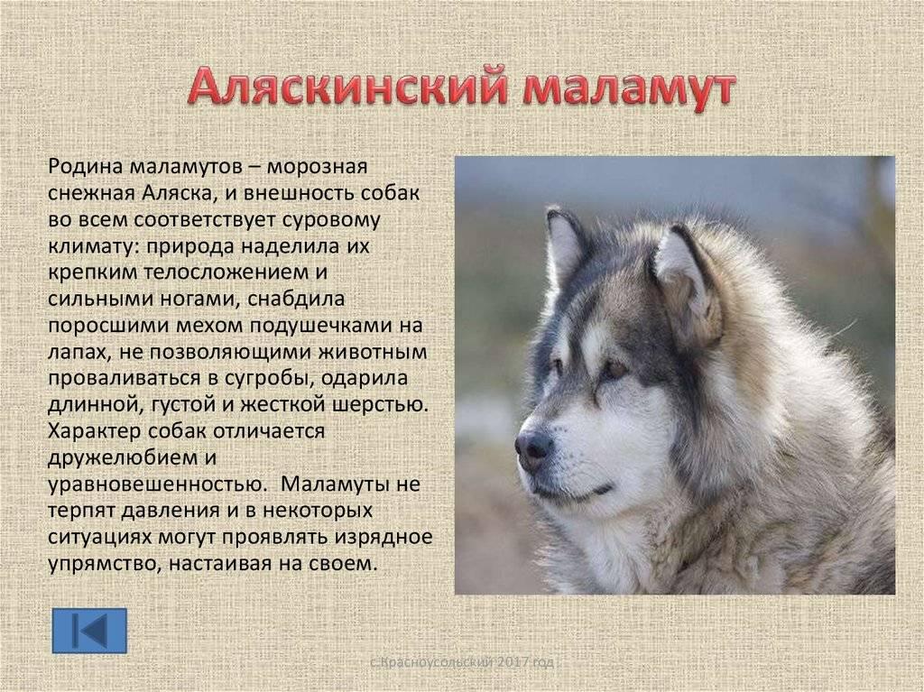Аляскинский маламут — ездовая собака с интересной историей