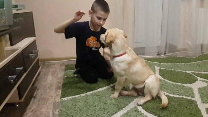 Воспитание щенка лабрадора: дрессировка в домашних условиях для начинающих