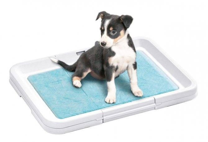 Как приучить щенка ходить в туалет на пеленку как приучить щенка ходить в туалет на пеленку