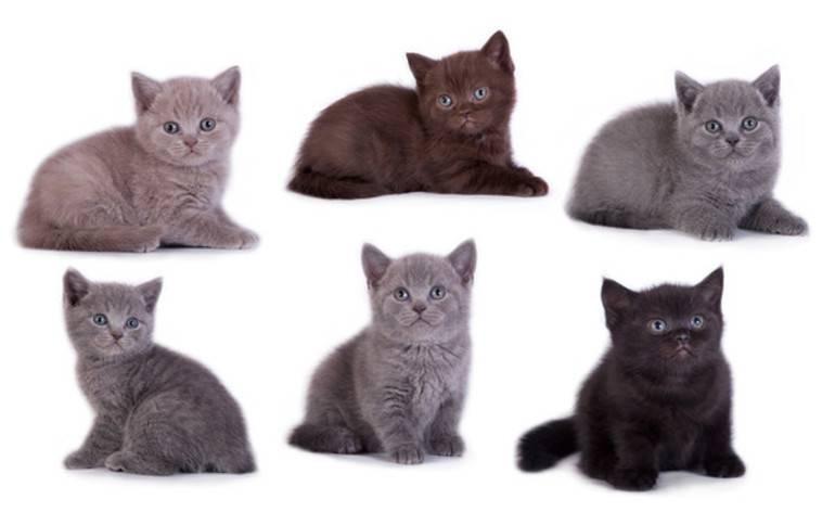 Расцветки британских кошек: мраморная, бежевая, лиловая