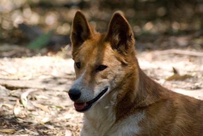 Динго (австралийская дикая собака)