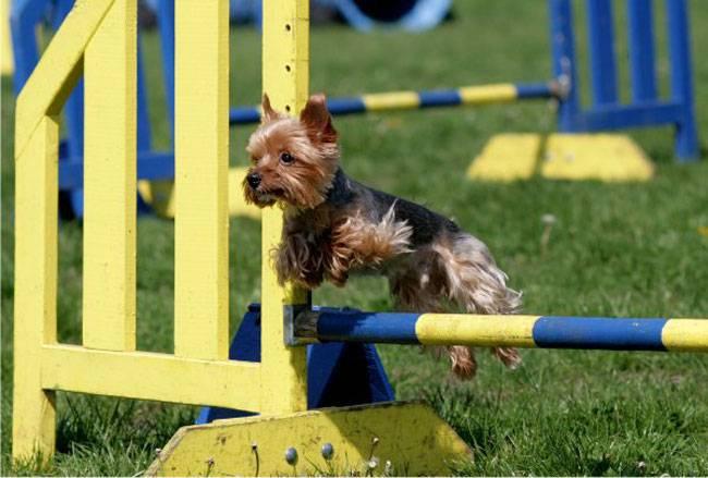 Дрессировка йоркширского терьера: воспитание в домашних условиях и как приучить к туалету и пеленке щенка и взрослую собаку