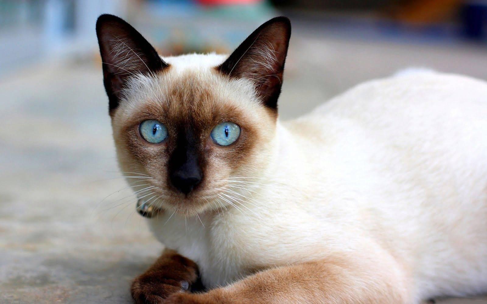 Особенности характера сиамской кошки