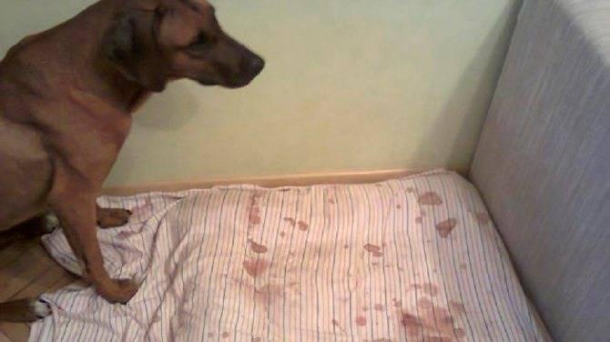 Сколько длится и когда начинается первая течка у собаки?
