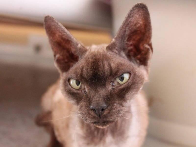 6 самых умных и красивых пород кошек, которые станут вам настоящими друзьями