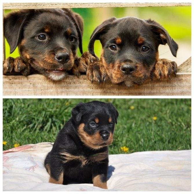 Клички для доберманов: как назвать собаку, а также список вариантов для девочек и мальчиков, редкие и распространенные имена для кобелей и сук