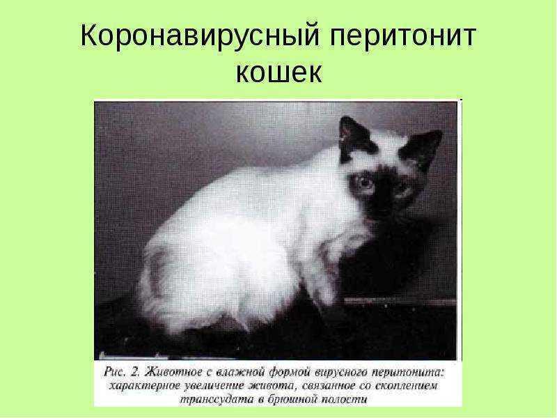 Распознавание и лечение гастроэнтерита и короновирусной инфекции у кошек