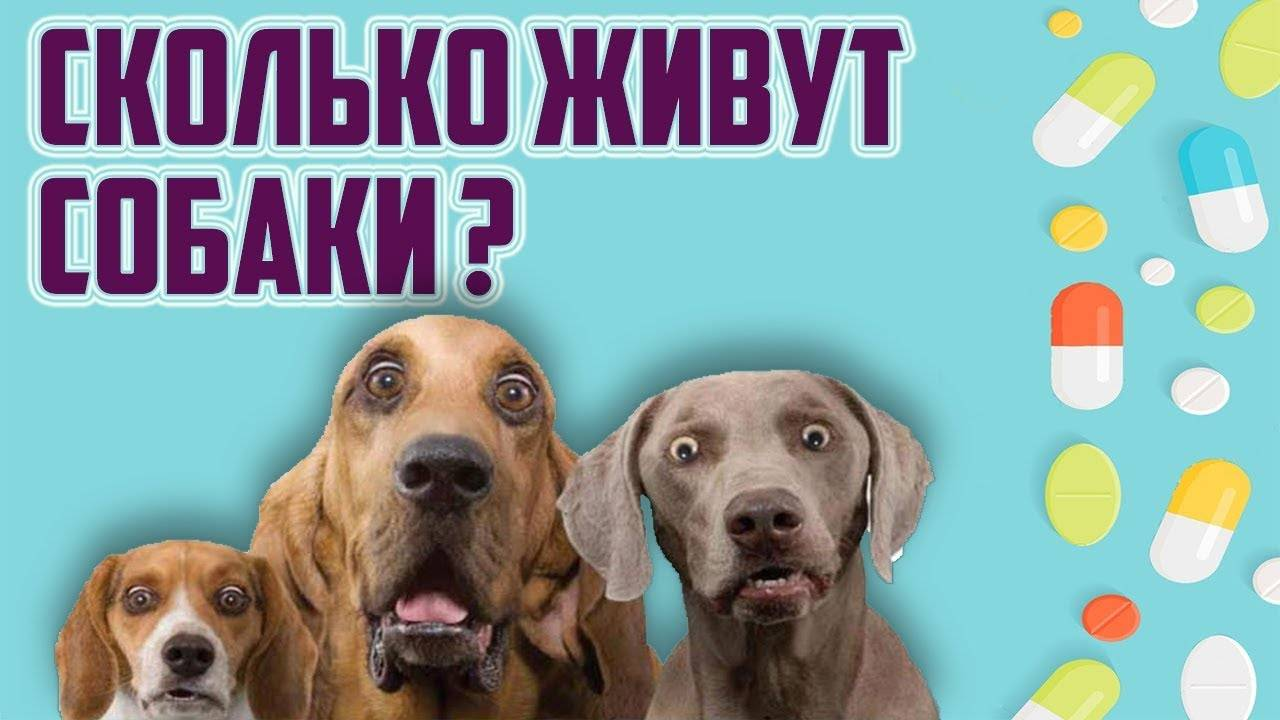 Сколько живут той-терьеры в домашних условиях: что влияет на продолжительность жизни собаки и можно ли продлить этот срок