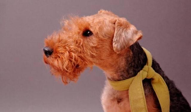 Порода эрдельтерьер: описание собаки, фото, содержание и уход