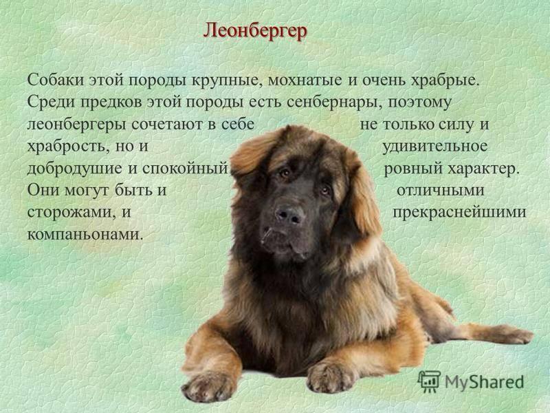 Леонбергер собака. описание, особенности, уход и цена леонбергера