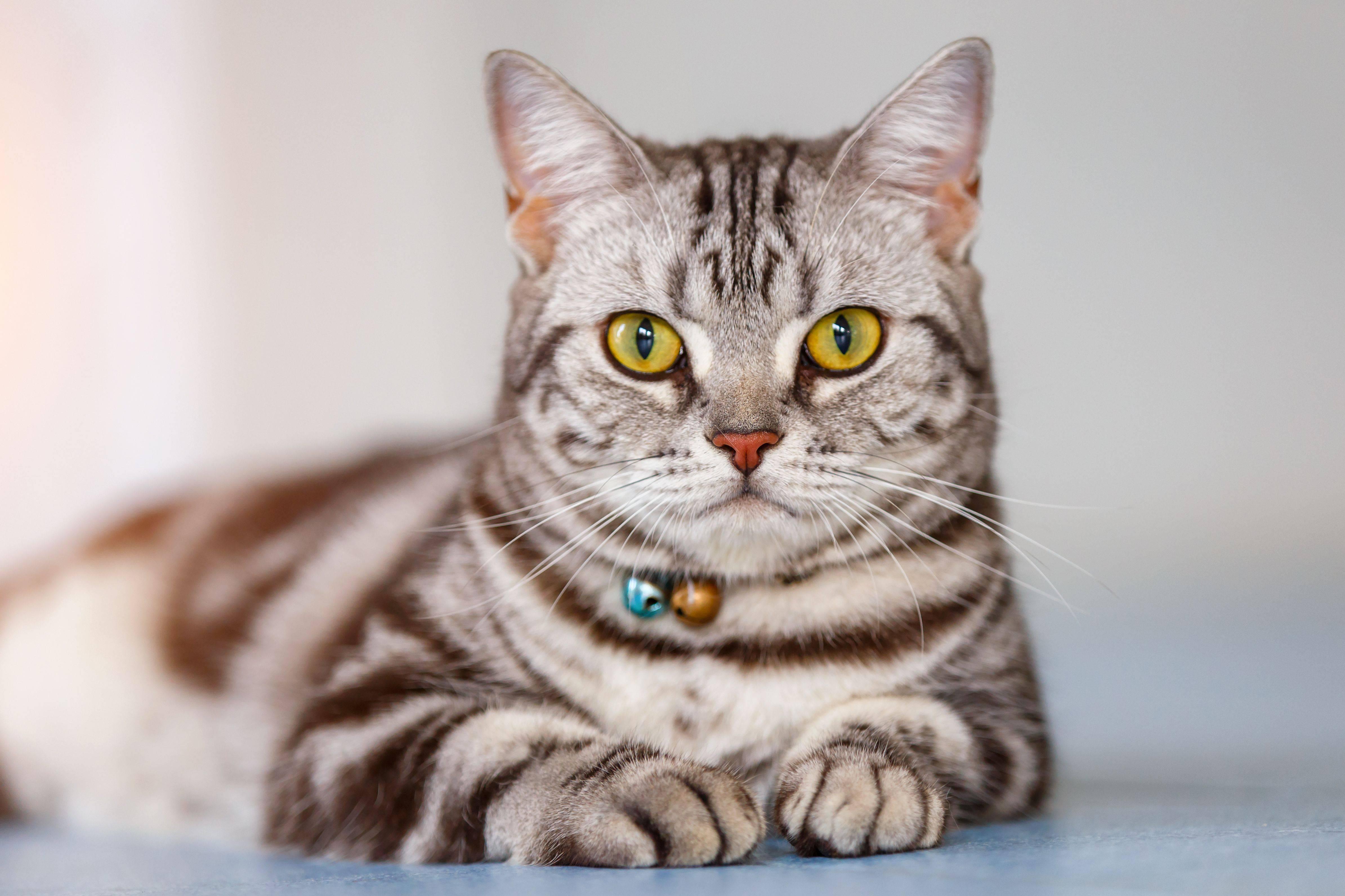 Американская короткошерстная кошка: описание гладкошерстной породы