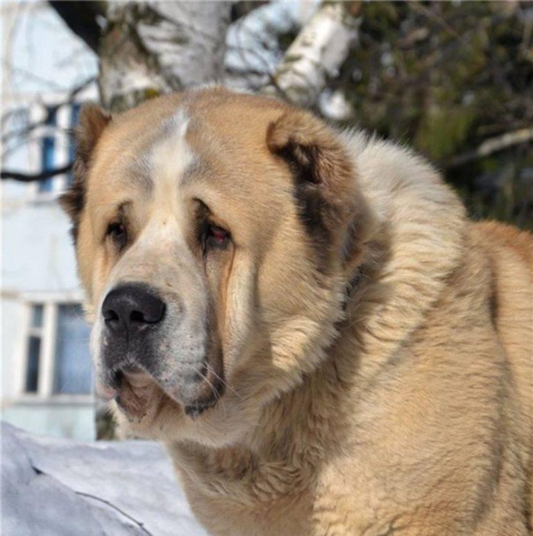Порода собак алабай